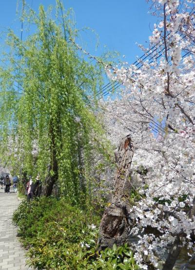 柳も芽吹いてきました♪ 玉串川の桜並木は5キロも続くのです