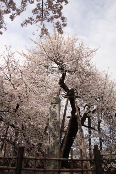 2015年 我が家のご近所さくら紀行 国指定天然記念物 石戸蒲桜 & さくら公園他