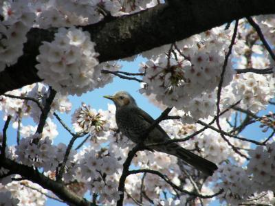 早朝ウォーキングで桜を愛でながら市内各地を巡る・・・⑨久喜パークタウンの青毛堀川畔の桜