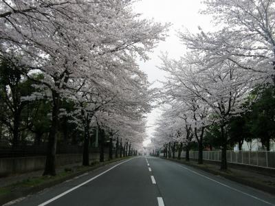 早朝ウォーキングで桜を愛でながら市内各地を巡る・・・⑫加須市川口の桜並木を訪ねます