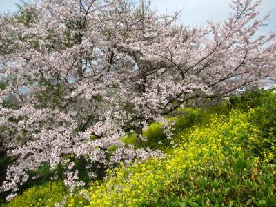 2015年 山陽小野田市 竜王山公園に桜を見に行きました。きらら温泉に行きました。