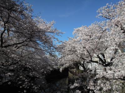 2015.3.26  野川と仙川の桜めぐり