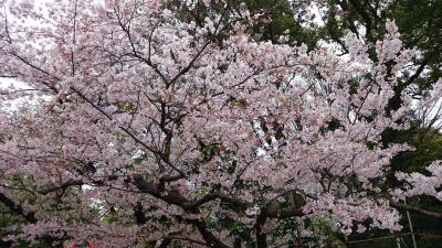 花の命は短し・・上野公園の桜☆アニメの街、秋葉原☆超絶!美味な焼肉「生粋」