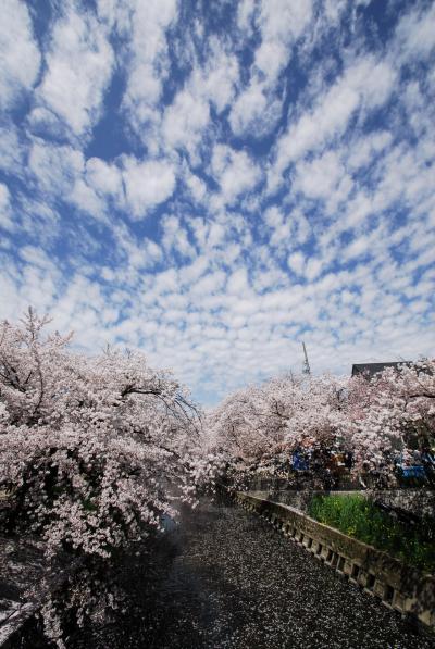 五条川の桜に癒されてみよう
