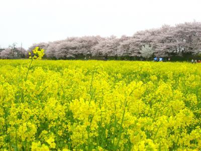'15 幸手権現堂桜堤の桜と菜の花