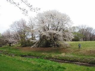 野川、小金井の桜