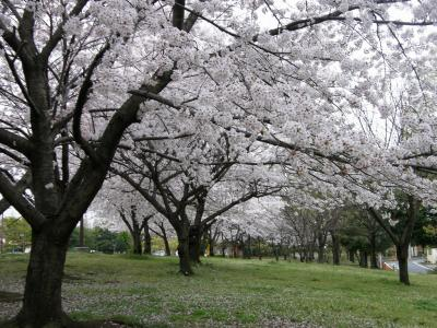早朝ウォーキングで桜を愛でながら市内各地を巡る・・・⑮加須市花崎公園の桜