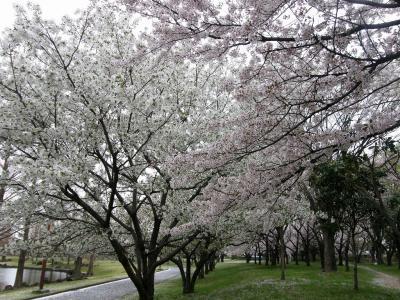 早朝ウォーキングで桜を愛でながら市内各地を巡る・・・⑯加須市花崎公園の桜・・後篇