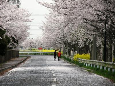 早朝ウォーキングで桜を愛でながら市内各地を巡る・・・⑰平成国際大学周辺の桜