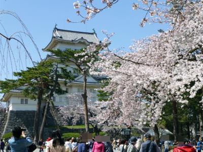 桜とお城~小田原城~