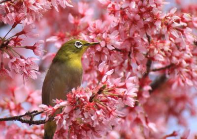 メジロちゃんを求めて 鶴見緑地のほほん記 オカメ桜と陽光桜が綺麗でした(作成中