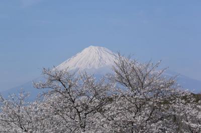 自転車でGO! 岩本山公園の桜と富士山 2015.03.30