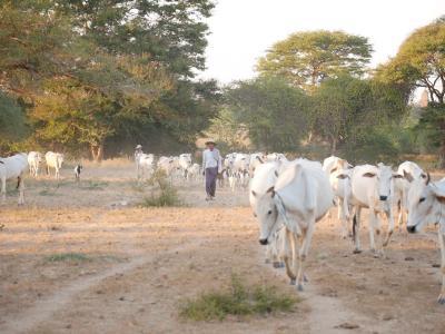 バガンで出会った、牛飼いさんと牛たち