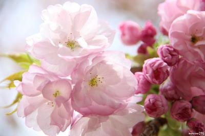 新宿御苑の桜は今がベストシーズンです