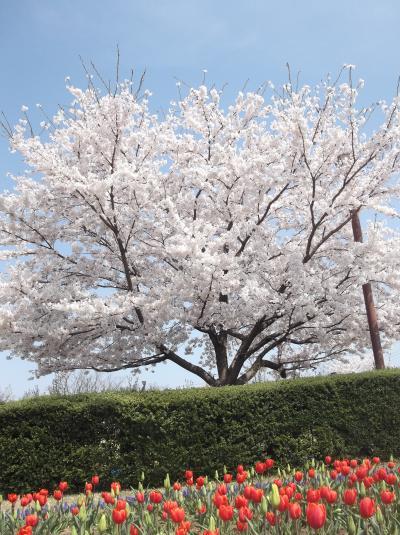 新潟「ふるさと村」花盛りになりました