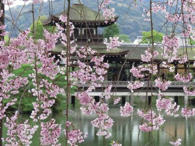 京都の桜2015  平安神宮の紅しだれ桜
