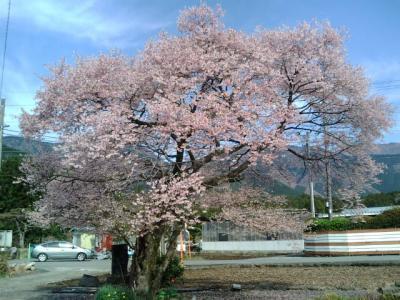 富士桜とマスで、サクラマス?