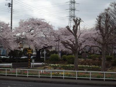 関東桜行脚 2 神奈川県相模原中央区の桜