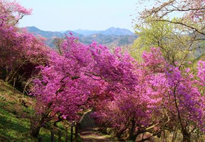 岩根山ツツジ園&長瀞の桜