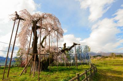 北風に負けず、神田の大糸桜、清春芸術村の桜が満開