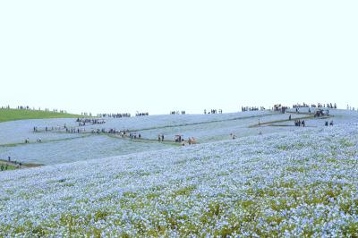 芝桜・藤・ネモフィラ フラワーパークのはしごで花三昧 ③国営ひたち海浜公園