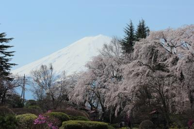 桜満開の富士ビューホテル