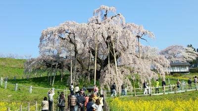 三春の滝桜とその仲間たち