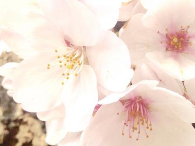 四谷、上智の桜