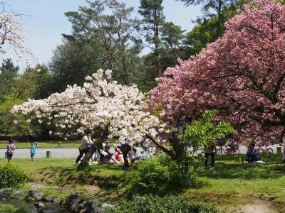久しぶりの快晴!  京都御苑・出水の小川の里桜     咲いてて良かった!ティコもちょっぴり水遊び