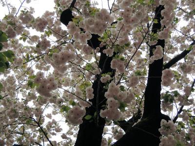 造幣局の桜の通り抜け(昼編)(その3)