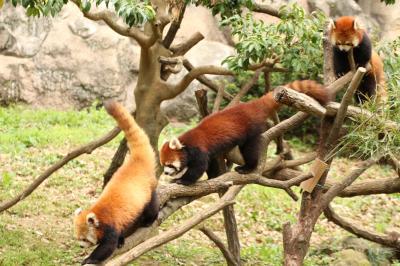 春のチューリップとレッサーパンダ詣(4)多摩動物公園(後編)レッサーパンダの子パンダ・トリオを見るなら今のうち!!