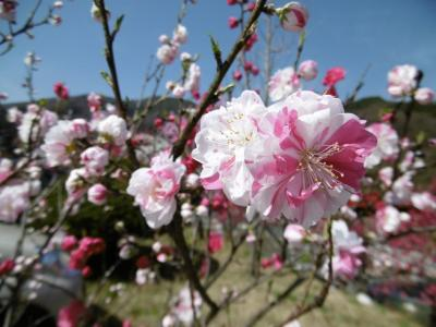 光前寺のしだれ桜~昼神温泉の花桃まつりドライブ