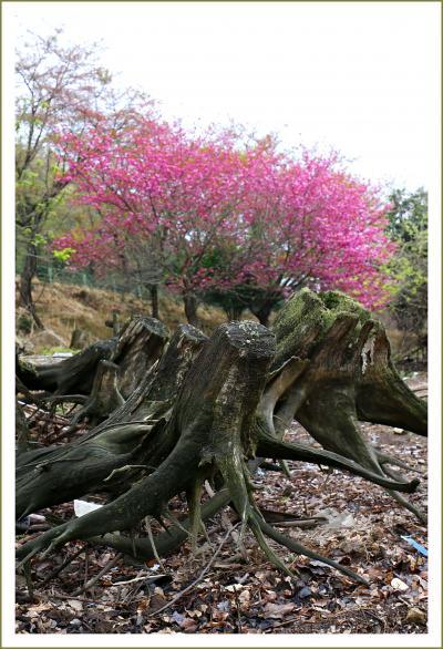 Solitary Journey [1566] お花見ラッシュが過ぎたこの時期、八千代湖畔の八重桜が満開♪でした。<のどごえ公園>広島県安芸高田市