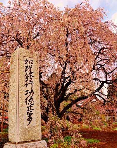 北杜1/2 実相寺 山高神代ザクラを訪ねて ☆ラッパ水仙の花畑も
