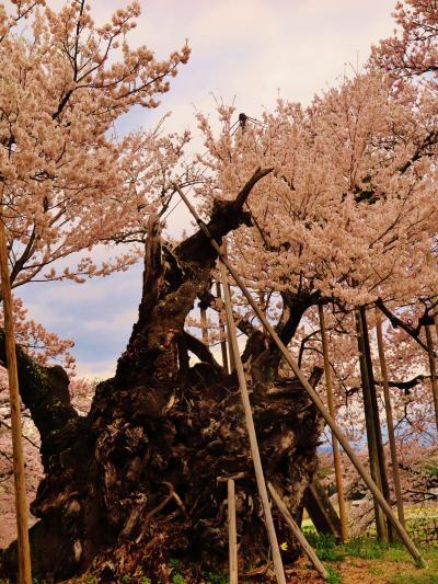 北杜2/2 山高神代ザクラ、日本一!エドヒガンの古木 ☆実相寺境内に2000年も