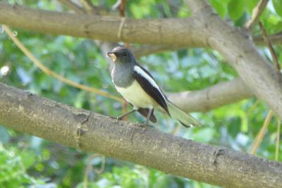 バンコク&タイ探鳥記