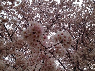 府中の桜巡り