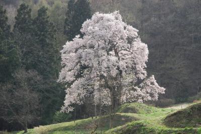川俣町秋山の駒ザクラを訪ねて(福島)