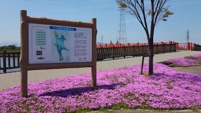 名古屋近郊の弥富に『芝桜』が満開中