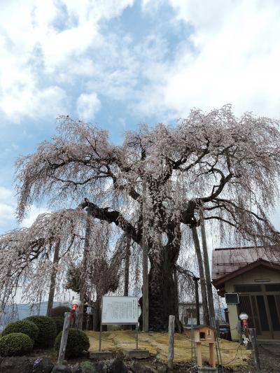 上山市権現堂「振袖桜」赤湯烏帽子山の桜(山形の桜)