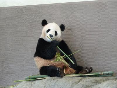 2015年4月 アドベンチャーワールドへ双子のパンダの赤ちゃん桜浜と桃浜を見に!