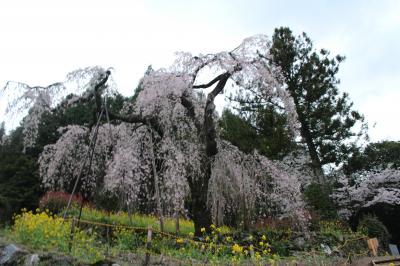 久万高原町中津にある西村太子堂の枝垂れ桜
