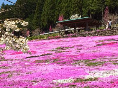 國田家の芝桜*2015