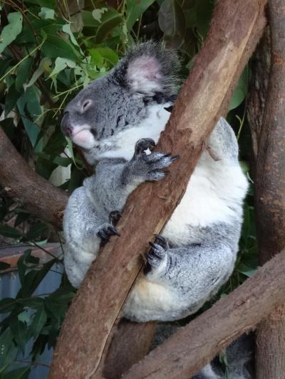 2012年秋はオーストラリアに行ってみました。(13) キュランダでコアラを抱く。