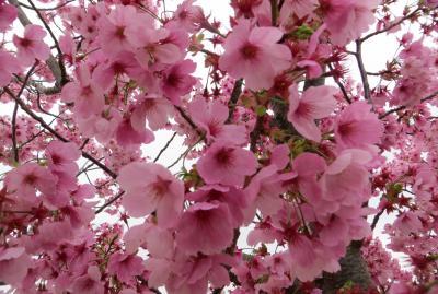 2015春、百名城巡り(10):4月4日(1):小野、泊まったホテル界隈、陽光桜、姫路城へ