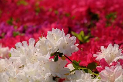 皇居 二の丸庭園 春 盛り つつじ咲く 上