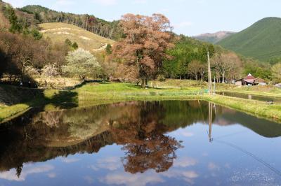 広島県指定天然記念物、千鳥別尺の山桜と初逢瀬