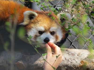 北米Redpanda紀行 Assiniboine Park Zoo 久しぶり!!サチちゃん、幸せそうでよかった!! 素晴らしい!!Journey To Churchill