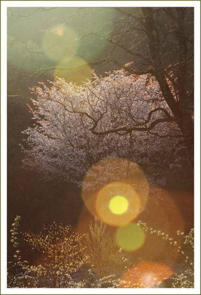 Solitary Journey [1569] 八幡高原で撮影会があったのでお邪魔してきました。<霧ヶ谷湿原のコブシの花とヤマザクラ>広島県北広島町