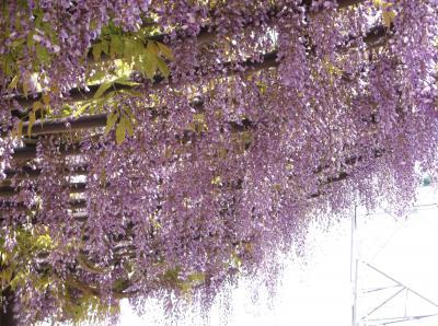 近くの藤の花を見に引地川親水公園へ